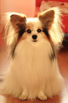 this is a Papillon Dog. It reminds me of Christina because Christina has 2 dogs. Both of them are Papillions.