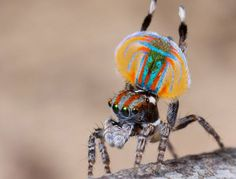 Colorful-Peacock-spider.jpg (615×468)