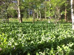inbreng tuinen        meiklokjes-festijn in bos aan Booneersels