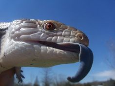 Darwin, Blue-tongued Skink