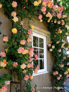"I want this rose bush! It's called Joseph's Coat of Many Colors Hybrid Tea Rose.  Most people know it as ""Joseph's Coat"" It blooms pink, orange and yellow roses."