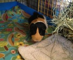 Bobby (now called Russell) is an adoptable Guinea Pig Guinea Pig in Marietta, GA. Bobby was born 4/6/09. Bobby is back in the rescue (now called Russell). He is a big, hunk of love that has some trou...