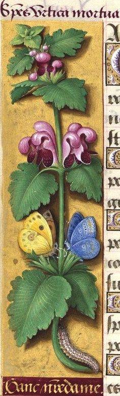 Gant nostre Dame - Species urtica mortua (Lamium purpureum L. = lamier pourpre) -- Grandes Heures d'Anne de Bretagne, BNF, Ms Latin 9474, 1503-1508, f°28v