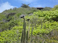Black birds perched on top of the cactus plant in Mustique. Photo by: Angela V.