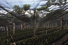 Coffee plantation/ El Salvador