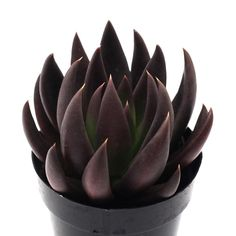 """Black Knight"" #echeveria #blackknight  #echeveriablackknight #succulent #succulents #blacksucculent #blacksucculents #plants #blackplants #"