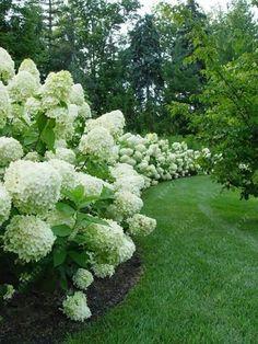 20 pcs/bag Hydrangea Paniculata 'vanilla Fraise' strawberry hydrangea seed bonsai flower seeds potted plant for home garden