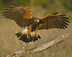 "The most ""social"" bird of prey, known for hunting in groups. Harris's Hawk"