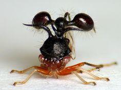 Ant-mimicking Treehopper, Cyphonia clavata? Membracidae, via Flickr.