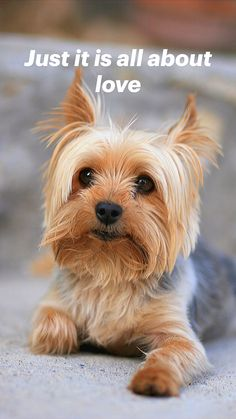 Yorky Terrier, Yorshire Terrier, Bull Terriers, Cutest Small Dog Breeds, Cute Small Dogs, Cutest Dogs, Small Puppies, Best Small Dogs, Puppies Puppies
