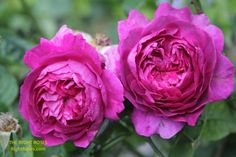 Princess Alexandra of Kent Rose Review   David Austin 2007 - The Right Roses Fragrant Roses, Shrub Roses, Jude The Obscure, Garden Rose Bouquet, Best Roses, Small Shrubs, Princess Alexandra, Old Rose, David Austin Roses
