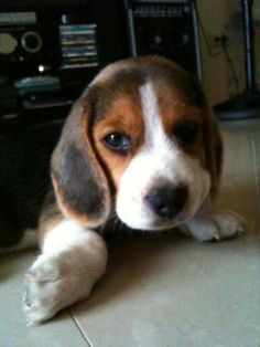 Beagle! So cute!!! Now I want one, as a puppy