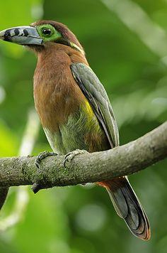 Foto araçari-poca (Selenidera maculirostris) por Vilde Florencio | Wiki Aves - A Enciclopédia das Aves do Brasil