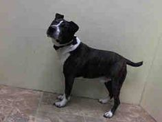 GONE 03/07/15  Brooklyn Center   My name is PETEY. My Animal ID # is A1029176. I am a neutered male br brindle and white am pit bull ter mix. The shelter thinks I am about 2 YEARS old. For more information on adopting from the NYC AC&C, or to  find a rescue to assist, please read the following: http://urgentpetsondeathrow.org/must-read/