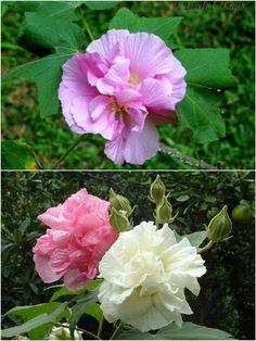 Sthal Poddo (স্থল পদ্ম)-Changeable Rose - Hibiscus Mutabilis