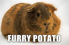 Buy The Right Size Guinea Pig Cage. Photo by maskarade Purchasing a guinea pig cage in a pet shop is unfortunately a good way to ensure that it is in fact too small for your pet's needs. Funny Animal Names, Funny Animal Pictures, Animal Memes, Funny Animals, Cute Animals, Funny Names, Baby Animals, Weird Names, Animal Facts