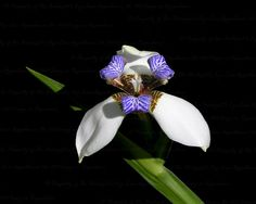 Walking Iris Fine Art Print  Exotic Purple and by #TheBiologistsEye #fpoe