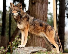 The beautiful and critically endangered red wolf | Endsville Roll