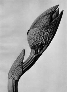 Karl Blossfeldt A Beautiful close up Plant Study. Karl Blossfeldt, Botanical Drawings, Botanical Art, Botanical Illustration, Flower Drawings, Flower Paintings, Artistic Photography, Photography Projects, Nature Photography