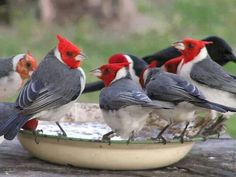 Red crested cardinals. Some disagreement exists as to whether this bird species belongs in the Tanager family or the Bunting family.  They are not related to the cardinal family at all..