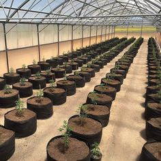 Rows of clones ready to go  from @707_grows -  #budd_city  #budcity