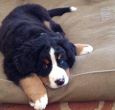 Sweet little pup Cute Little Puppies, Cute Dogs And Puppies, Cute Little Animals, I Love Dogs, Pet Dogs, Dog Cat, Doggies, Burmese Mountain Dogs, Entlebucher