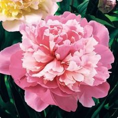 """Peonies """"Edulis Superba"""" Very Fragrant - The big and beautiful Edulis Superba spring-plant Peony produces 5 to 7 inch pink blooms that reach 3 feet in height! Faux Flowers, Diy Flowers, Fabric Flowers, Beautiful Flowers, Peony Flower, Spring Plants, Tissue Paper Flowers, Paper Flower Tutorial, Handmade Flowers"""