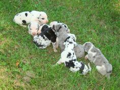 Great Dane Puppies Pet Finder Pet Classifieds Free to search