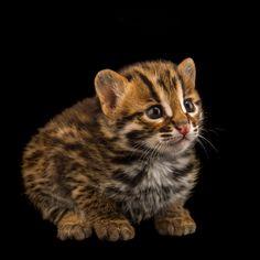 Small Wild Cats, Big Cats, Cool Cats, Snowshoe Cat, Asian Leopard Cat, Singular, Unique Cats, Ocelot, All About Cats