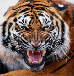 close up tiger's face bare teeth Tiger Panthera tigris altaica - Buy this stock photo and explore similar images at Adobe Stock Angry Tiger, Tiger Cub, Most Beautiful Animals, Beautiful Cats, Panthera Tigris Altaica, Tiger Fish, Tiger Facts, Tiger Roaring, Tiger Poster