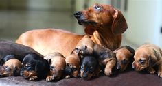 Bliss is a pile of warm, snuggly dachshund puppies. I wonder if all those puppies are hers! Weenie Dogs, Dachshund Puppies, Dachshund Love, Cute Puppies, Cute Dogs, Dogs And Puppies, Daschund, Doggies, Funny Dachshund
