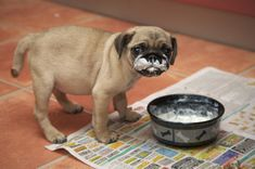Pug Puppies 37 Pictures