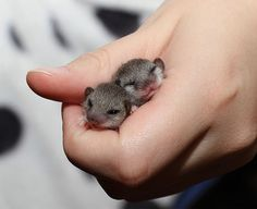 Baby Dormice - an endangered species mainly found in counties of Britain.