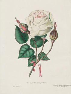 A White Rose by Anne Marie Trechslin 1927 2007 in rose flower drawing 30 Vintage Valentine s Day Rose Illustration, Engraving Illustration, Botanical Illustration, Valentines Day Images Free, Vintage Valentines, Vintage Birthday, White Rose Flower, White Roses, Victorian Flowers