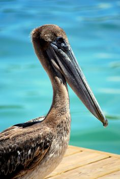 Pelicans have been my favorite animal for as long as I can remember. When I was ten, I asked for one for Christmas. They can fly with three gallons of water stored in their mouths.