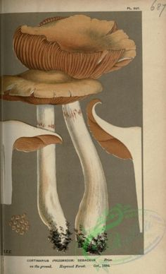 cortinarius (phlegmacium) sebaceus - high resolution image from old book. Old Book Pages, Art Clipart, Picture Collection, Vintage Flowers, Botany, Wall Collage, Printable Art, Stuffed Mushrooms, Bloom