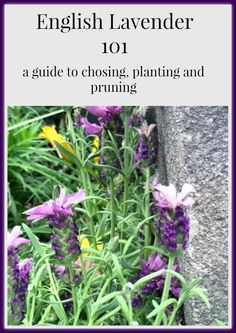 English Lavender a Guide to choosing, caring for & pruning