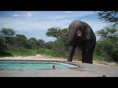 Elephant crashes pool party!  I love how he suddenly realizes there are people near him at the end.