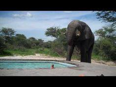 ▶ Elephant crashes the pool party - YouTube