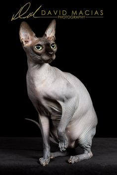 I present you with the Sphynx cat, an excellent representation of the breed. This gorgeous cat is owned by Bonnie Ross and was photographed during the Opposites Attract Cat Club Show in Pasadena. #cfa #cat #catshow #sphynx #sphynxcat #showcat #davidmacias #davidmaciasphotograhy