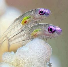 Translucent goby fish:  Color is a mottled gray, brown, or olive; living fish are translucent or mostly transparent.