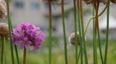 Allium in Haevichi Resort, Jeju, KOREA
