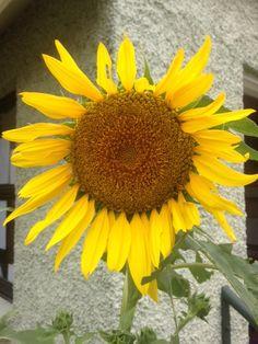 Sunflower activity Montessori inspired