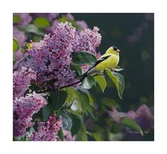 Terry Isaac | Goldfinch and Lilac