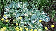 Hosta Golden Meadows a stunner of a Hosta,  very good garden plant