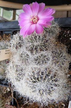 Sulcorebutia Hertusii Cactus -