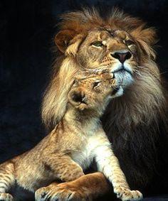 Little Lions on Pinterest | lion cub, cubs and lion
