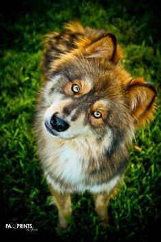Meet Reno, a Petfinder adoptable Siberian Husky Dog | Sugar Land, TX