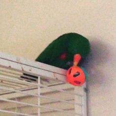 Angel loves playing with cat balls. These are the thick plastic balls with plastic around the bell inside #eclectusofig #eclectusofinstagram #eclectusparrots #eclectusparrot #eclectus #parrot #parrots #parrotsanctuary #bird #birds #birdsofinstagram #nonpr