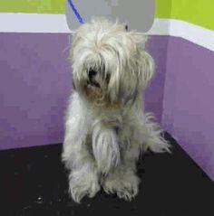 Havashu dog for Adoption in Aurora, CO. ADN-412699 on PuppyFinder.com Gender: Male. Age: Adult